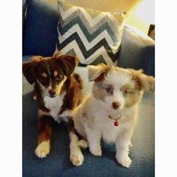 Lulu's Lil Aussies - 25 Photos - Pet Breeders - 315 Walk St
