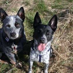 Pacific Northwest Cattle Dog Rescue Get Quote Pet Adoption