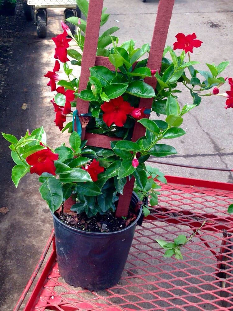 I Buy A Mandevilla Here Every June Blooms Until Early