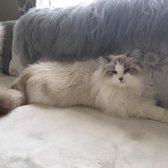 Sineglazka Siberian Cats - 12 Photos - Pet Services - Las