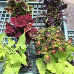 Delicieux Photo Of Berns Garden Center U0026 Landscaping   Middletown, OH, United States.  Coleus ...