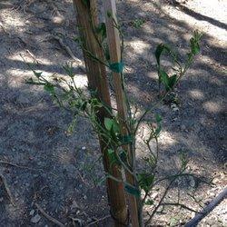Photo Of Western Tree Nursery Gilroy Ca United States Sad Looking Orange