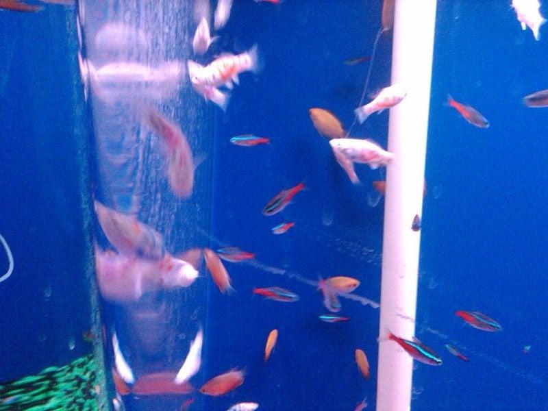 Tattooed Fish Freshwater Yelp
