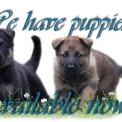 Heidenreich German Shepherds Pet Breeders 480 Phelps Rd