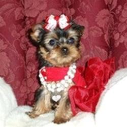 Yorkie Puppies For Sale Pet Services 3926 Oak Pointe Dr Lady