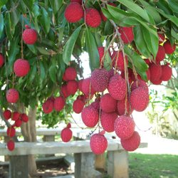 Photo Of Bonita Creek Nursery Ca United States Brewster Lychee