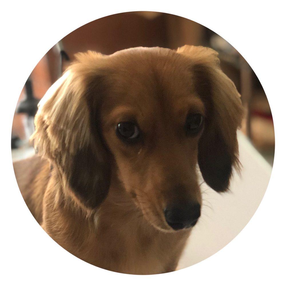 Puppy Love Doxies: Appomattox, VA