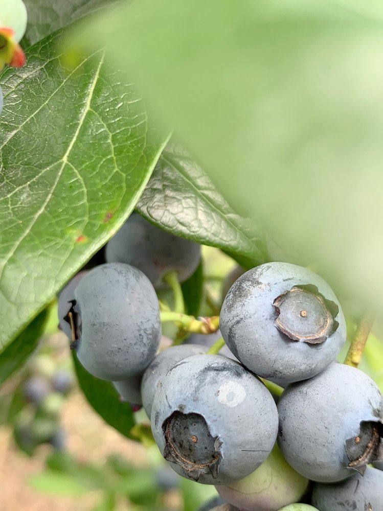 Henna Blueberry Farm: 32500 NE 60th St, Carnation, WA
