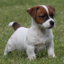 russellville jack russell terriers get quote 31 photos pet