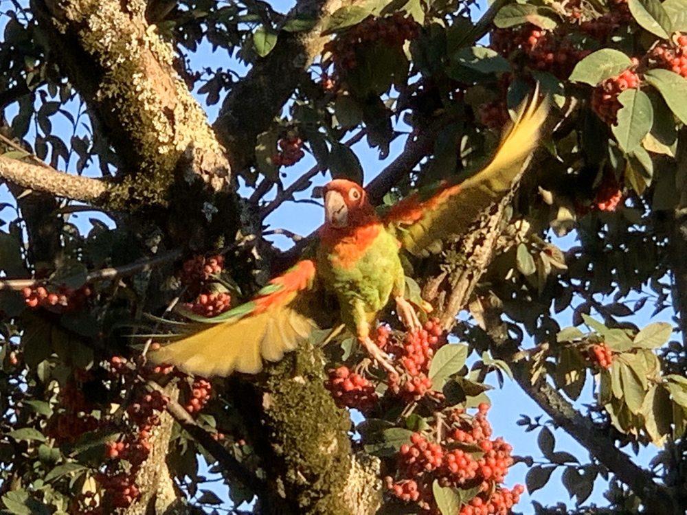The Parrots of Telegraph Hill: San Francisco, CA