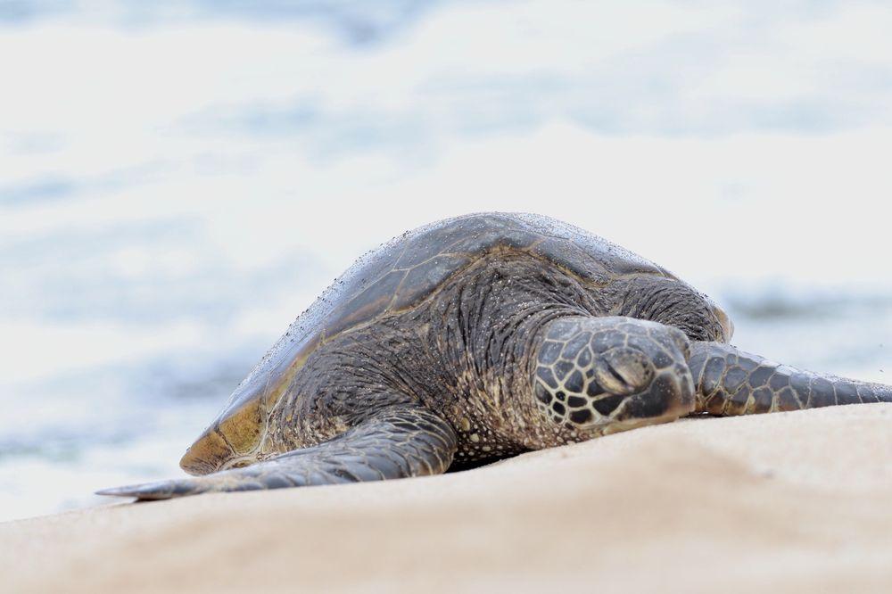Laniakea Beach: 61-676 Kamehameha Hwy, Haleiwa, HI