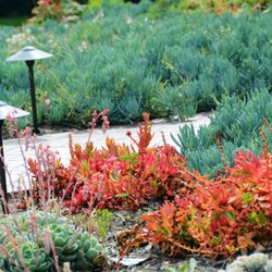 Photo Of Red Berm Landscape Design   Torrance, CA, United States. Colorful  Drought