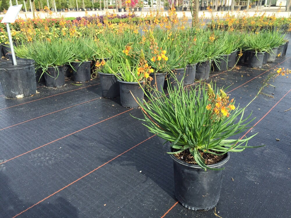 Attract Butterflies And Hummingbirds With Orange Bulbine