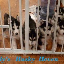 Siberian Husky Puppies Home Pet Adoption Jersey City Nj Phone