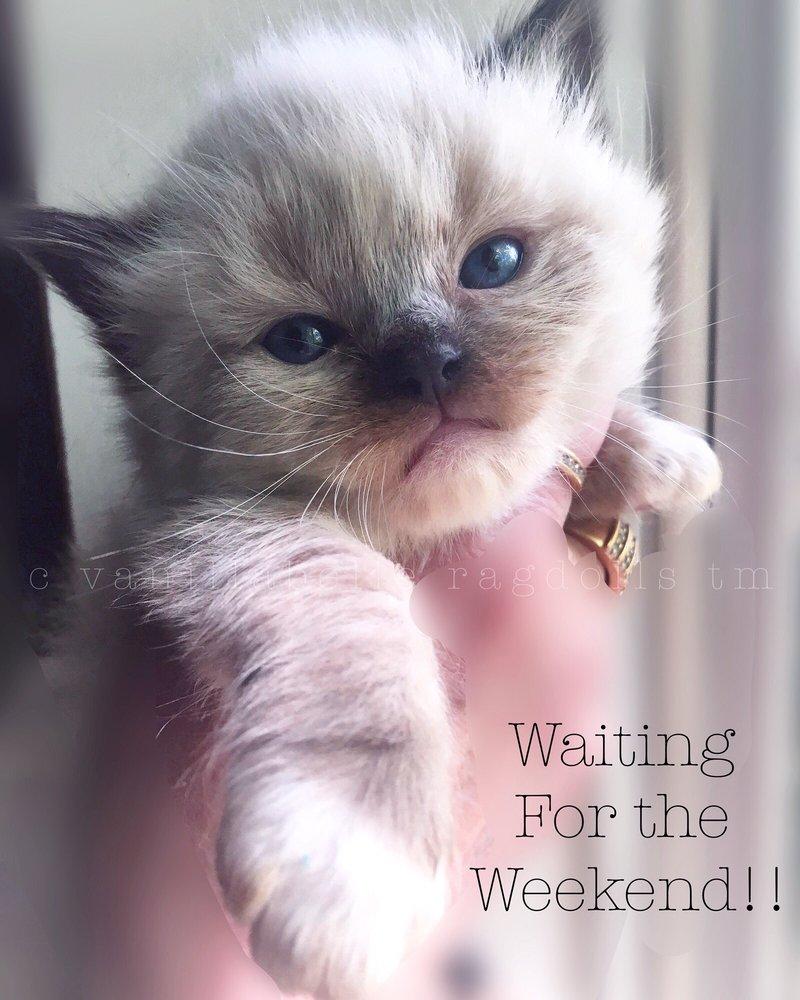 Vanillabelle Ragdoll Cats & Kittens: Clinton, NY
