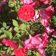 Photo Of Chamblee S Rose Nursery Tyler Tx United States