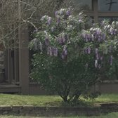 Photo Of Hermann Furniture   Brenham, TX, United States. Wisteria In Bloom!