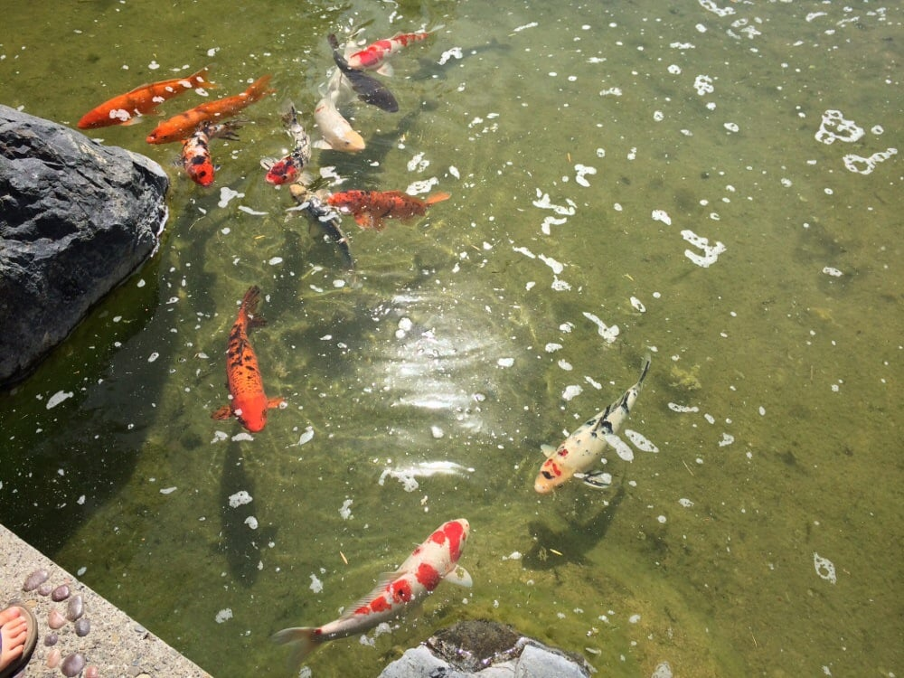 Bring quarters for fish food yelp for Japanese friendship garden san jose koi fish