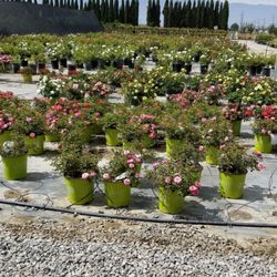 Photo Of Sunshine Growers Nursery Ontario Ca United States Variety