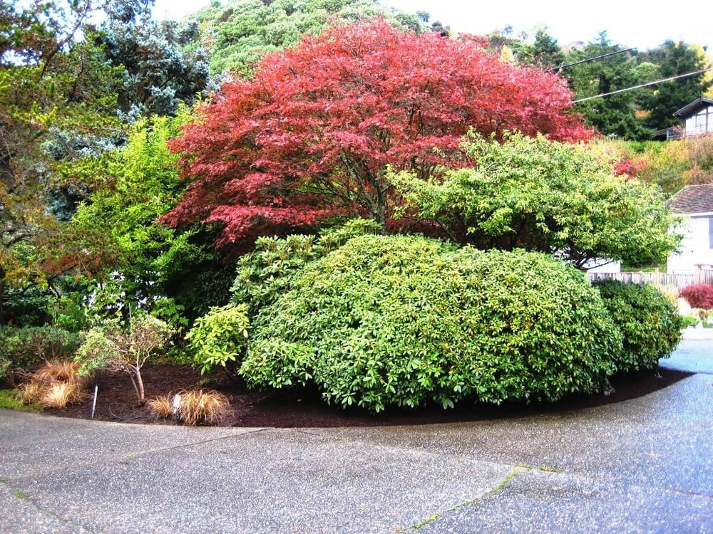 Expert Pruning Of Mature Trees And Shrubs