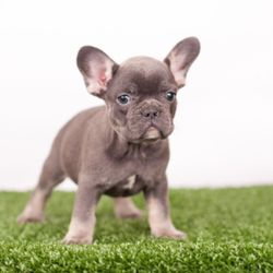 Yelp Reviews for French Bulldogs - 54 Photos - (New) Pet Breeders