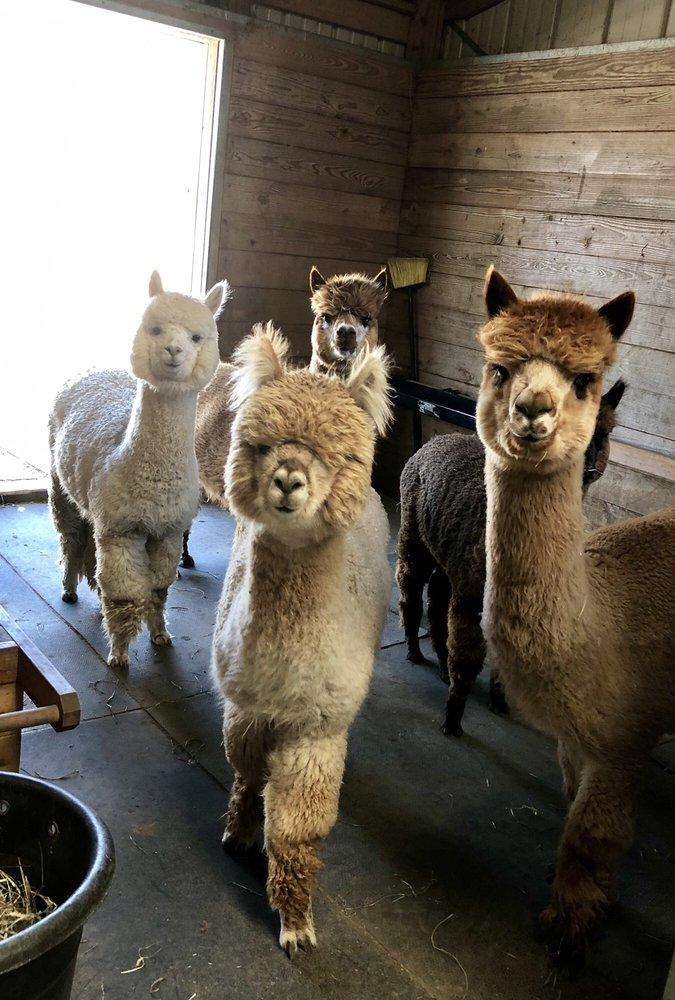 Winding Creek Alpacas: 1148 Somers Point Rd, Egg harbor Township, NJ