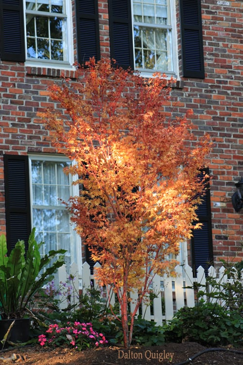 Coral Bark Japanese Maple Installed At A Clients Home In