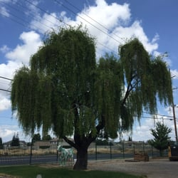 Photo Of Westurf Nursery Modesto Ca United States Wheeping Willow