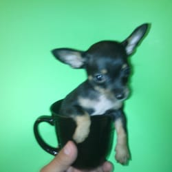 Tiny Toys and T-CUP Chihuahua Puppies - CLOSED - 23 Photos - Pet