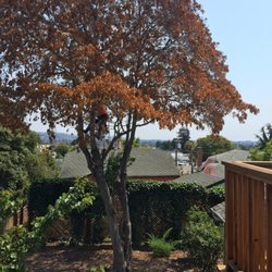 Photo Of Sequoia Tree Service Oakland Ca United States Before The Removal