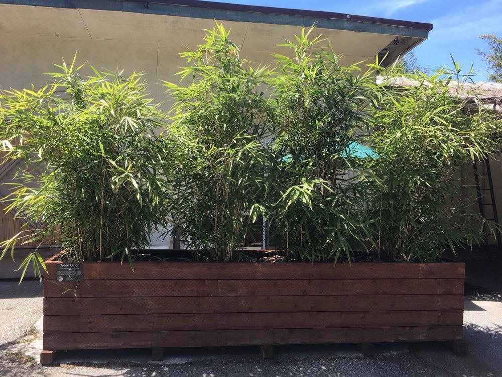 Bamboo Giant Nursery