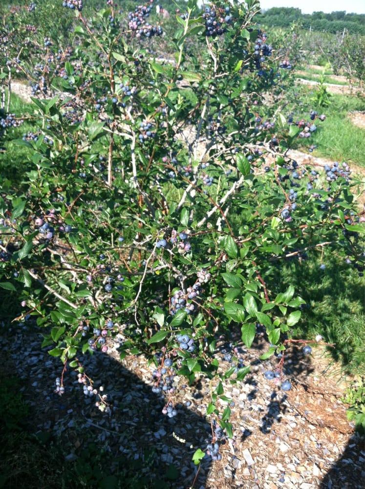 Lavigne Strawberry Farm: Whichers Mill Rd, Sanford, ME