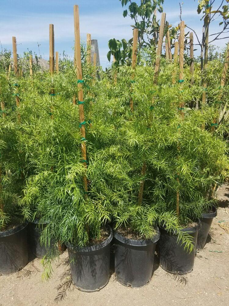 Photo Of Socal Nursery Riverside Ca United States Podocarpus Gracilior Hedge Trees