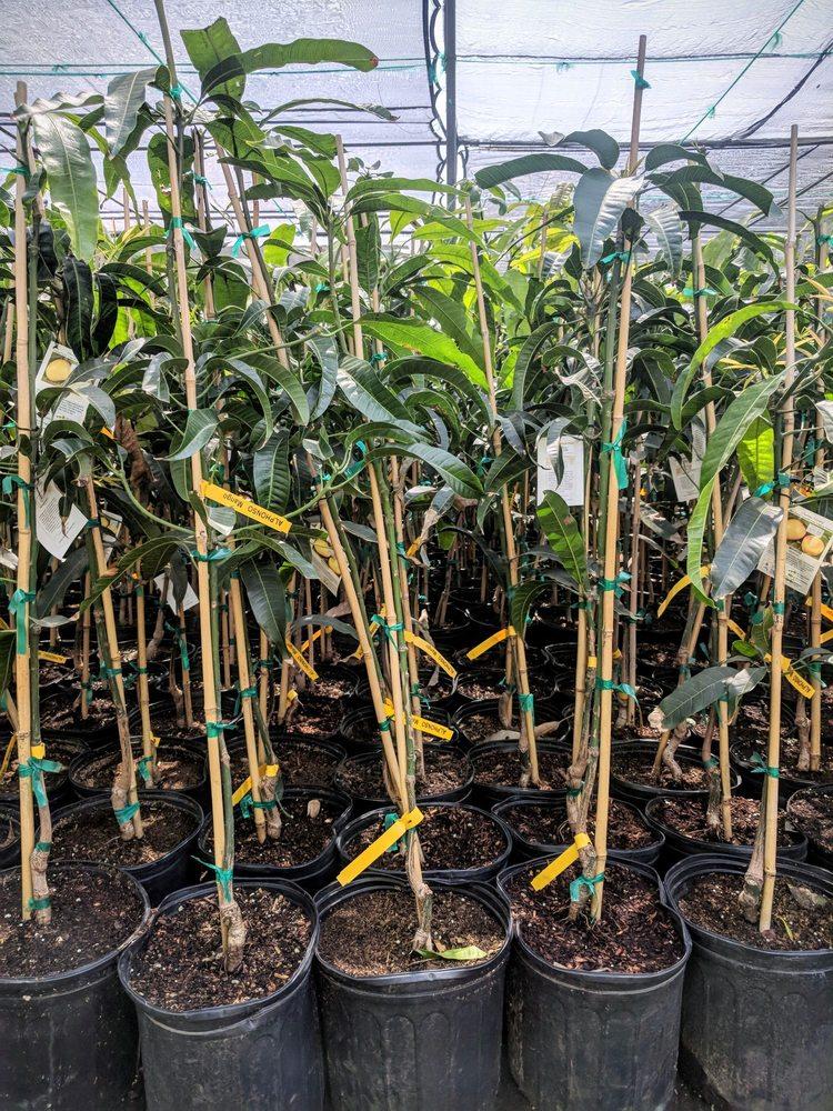 Photo Of Champa Nursery El Monte Ca United States Me Mango Tree