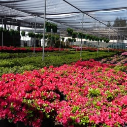 Photo Of Manthey S Nursery San Jose Ca United States Azaleas