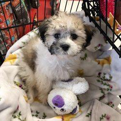Piper's Posh Puppies - 27 Photos - Pet Breeders - 7033 State