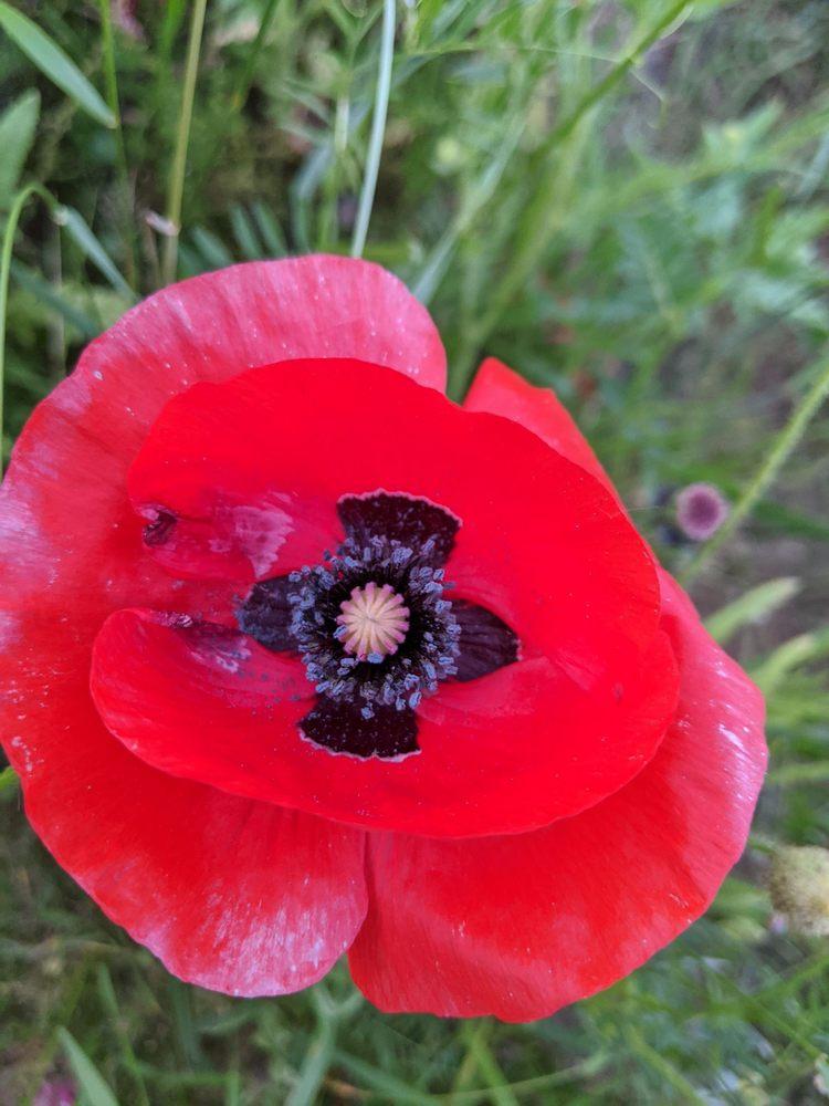 Commemorative Poppy Field: 5897 124th Ave, Fennville, MI