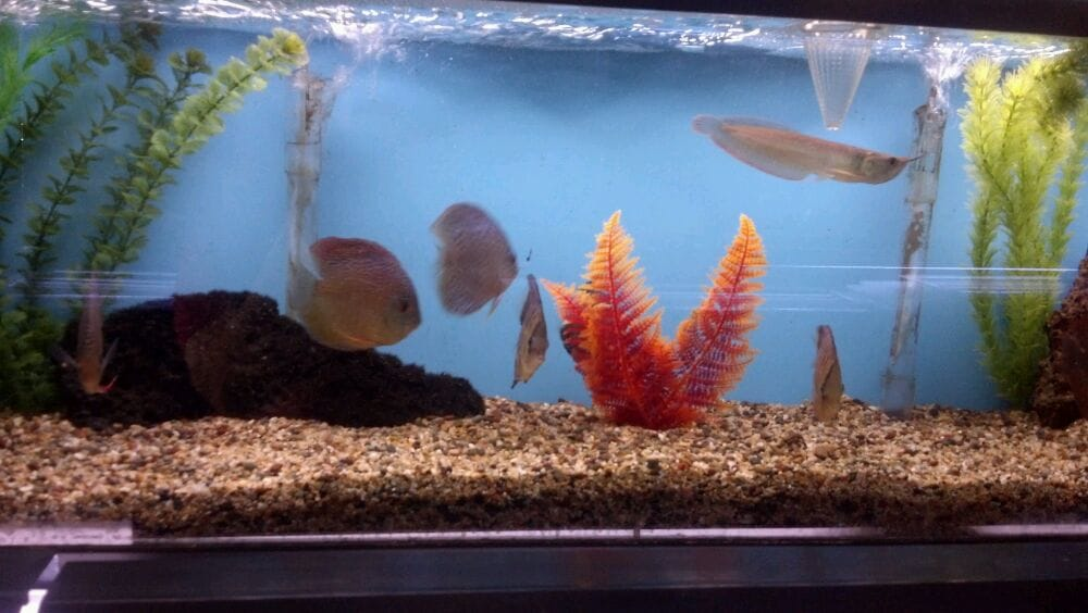 A baby arowana with discus yelp for Jims exotic fish
