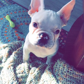 French Bulldogs - 54 Photos - Pet Breeders - Middleburg, FL