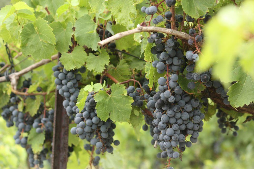 Berryville Vineyards: 1955 N Prairieton Rd, Claremont, IL
