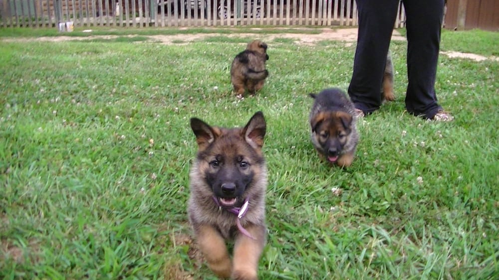 dach haus german shepherds get quote pet shops 51 joanne dr foley mo united states. Black Bedroom Furniture Sets. Home Design Ideas