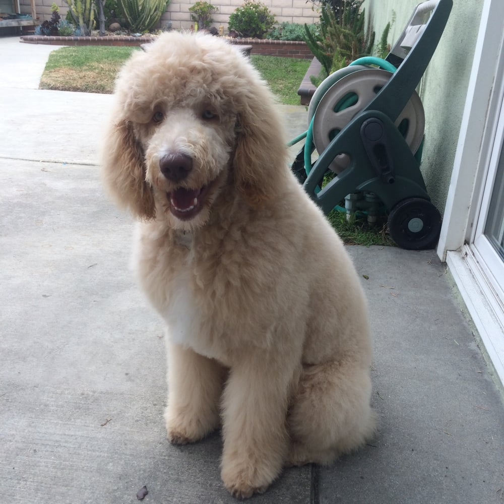 Electricians In My Area >> Huck, a 4 month old standard poodle just groomed by OC Elite Mobile Grooming! - Yelp