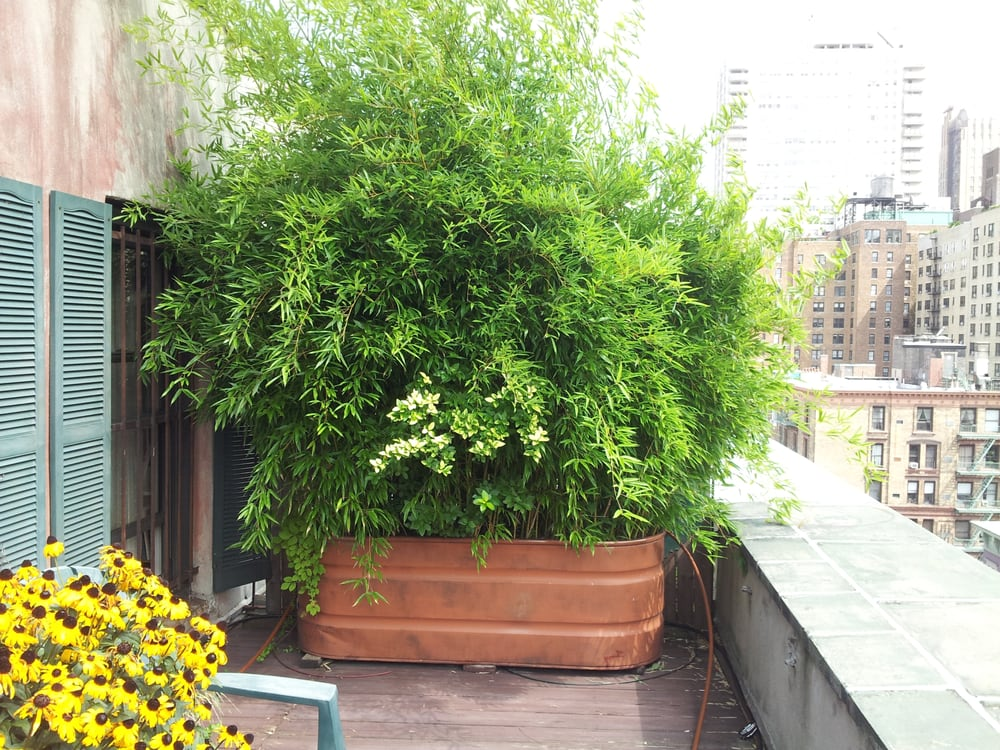 Bamboo In Planter To Make A Privacy Screen For Manhattan