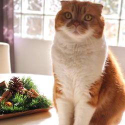Luxury Kittens Scottish Fold - 150 Photos & 18 Reviews - Pet Stores