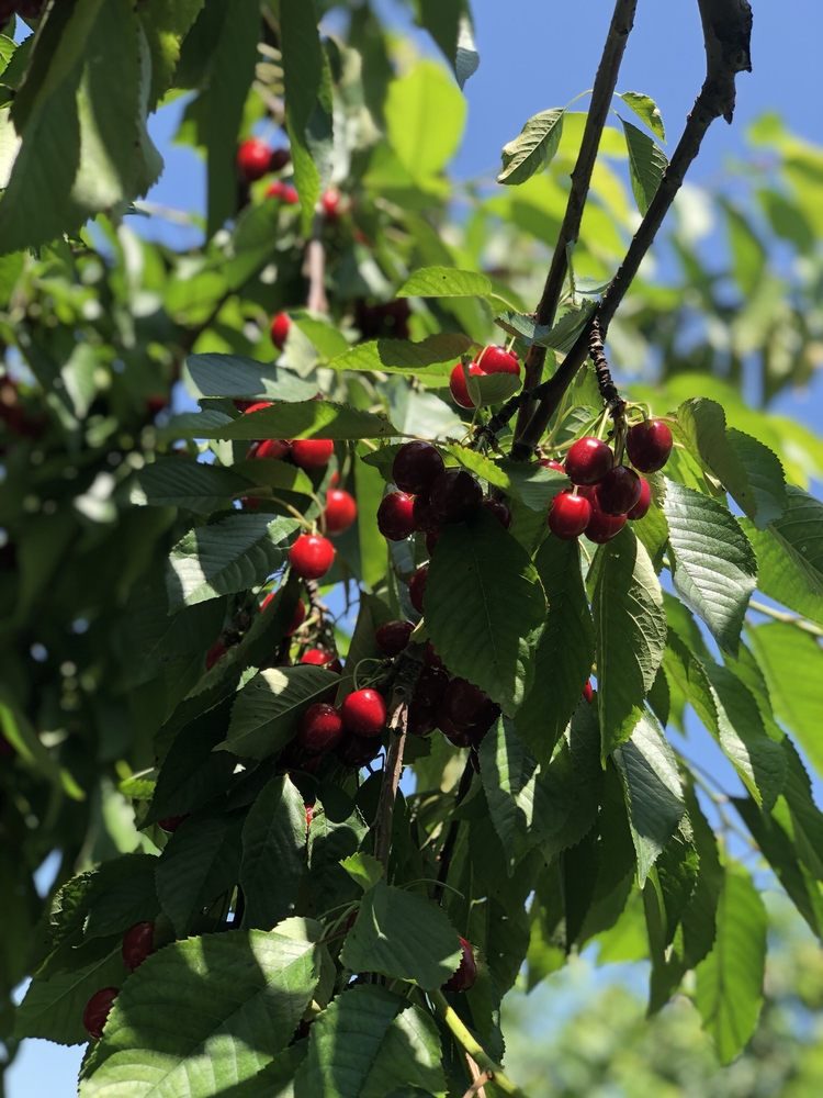 Jollay Orchards: 1850 Friday Rd, Coloma, MI