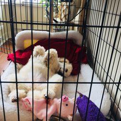 Delphinium's Standard Poodles - (New) 10 Photos - Pets