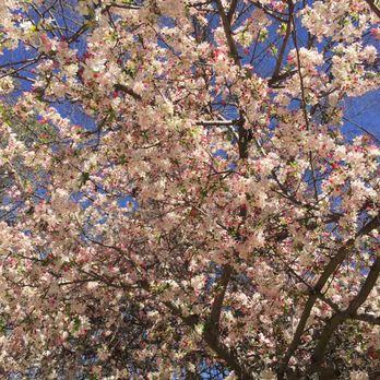 Cherry Blossom Festival 55 Photos 13 Reviews Festivals 1418 Descanso Dr La Canada