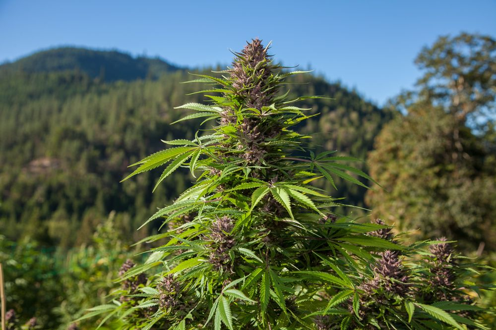 Wine Country Weed Trips: Santa Rosa, CA
