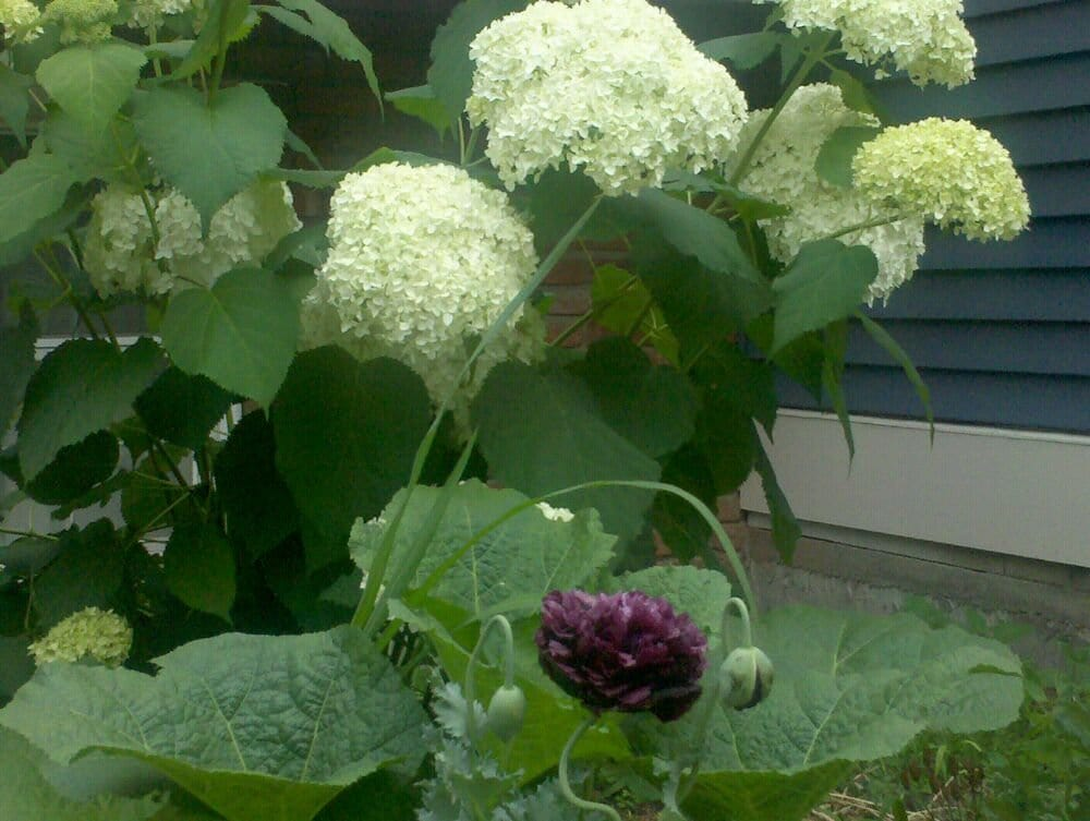 Hydrangea And Poppy Yelp