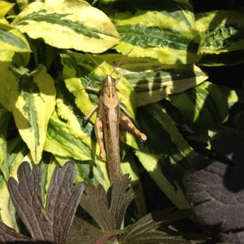 Photo Of Armstrong Garden Centers   Huntington Beach, CA, United States.  Grasshopper